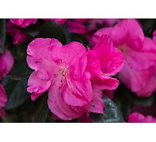 peony in spring Photographic Print