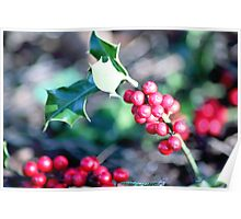 festive Christmas holly Poster