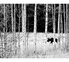 Wandering Moose Photographic Print