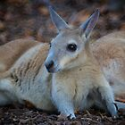 Wallaby Resting  by D-GaP