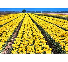 Yellow Tulips for Easter Photographic Print