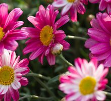 colored daisy in spring by spetenfia