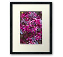 maple in spring Framed Print