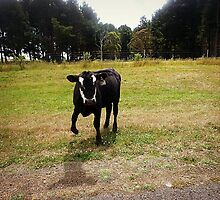 Calf left its Mum to come check us out. Creswick Area - Vic. Australia by EdsMum