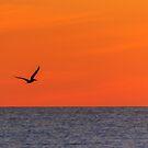 Sunset Pelican by Silken Photography