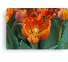 tulips in bloom Canvas Print
