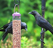 Young jackdaws on bird feeder by turniptowers