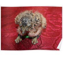Two Week Old Burrowing Owl Poster