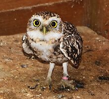 The Burrowing Owl by AnnDixon