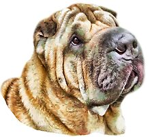 Shar Pei Head shot by brijo