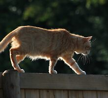Ginger cat walking on garden fence by turniptowers