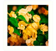 Bougainvillea flowers in a garden. Bright orange flowers.  Art Print