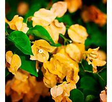 Bougainvillea flowers in a garden. Bright orange flowers.  Photographic Print