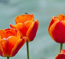 tulip in spring by spetenfia