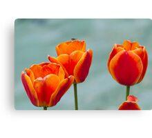 tulip in spring Canvas Print