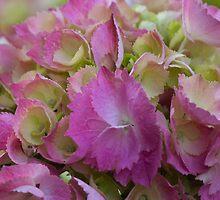 hydrangea bloom by spetenfia