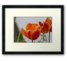 tulip in spring Framed Print