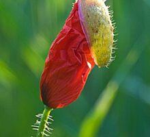 Poppy Emerges Sticker