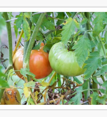 Tomatoes in the Garden Photograph Sticker