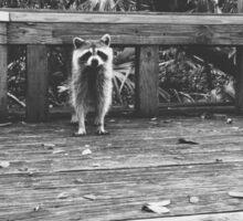 Raccoon B&W  Sticker
