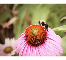Pink Daisy With Bee Photographic Print