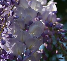 Wisteria Sunlight and Shadows by taiche