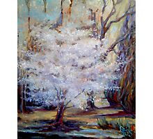 FUMC Cherry Trees, oil on canvas Photographic Print