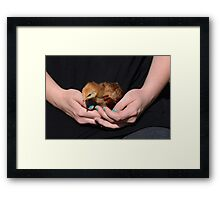 Hands holding baby chicken Framed Print