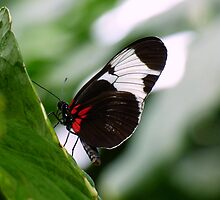 Black, White, and Red Brazilian Butterfly by artbybutterfly