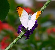 The Great Orange Tip Butterfly by artbybutterfly