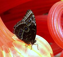 Closed Blue Morpho on Red Glass by artbybutterfly