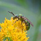Halictid Bee by David Lamb