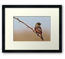 Blackcheeked Waxbill - Finding Thorny Solitude Framed Print
