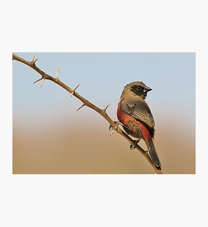 Blackcheeked Waxbill - Finding Thorny Solitude Photographic Print