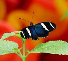 Blue Black Butterfly on an Orange Background by artbybutterfly