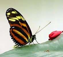 Black, Orange, and Yellow Butterfly by artbybutterfly