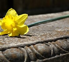 Springtime Daffodil on a Bench by rqjellybean