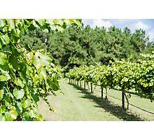 Grape Vine 2 Photographic Print