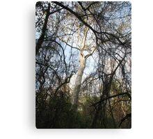 Bidwell Trees (original) Canvas Print