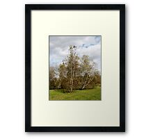 Birch Trees in Autumn Framed Print
