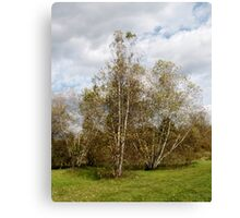 Birch Trees in Autumn Canvas Print
