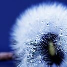 Dandilion by Sue Nueckel
