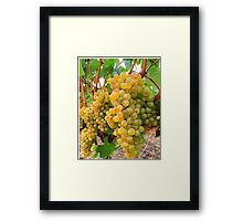 Vineyard Grapes  Framed Print