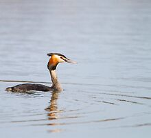 Great Crested Grebe by Dominika Aniola