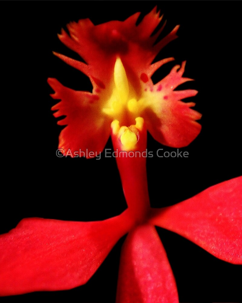 Rooster Tale - Orchid Alien Discovery by ©Ashley Edmonds Cooke
