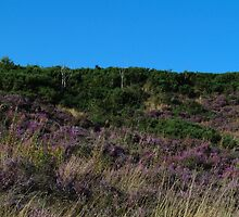 Purple Heather Covering Hednesford Hills by Adrian Wale