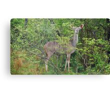Impala and Friend - South Africa Canvas Print