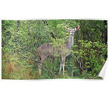 Impala and Friend - South Africa Poster