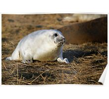 Fluffy frey seal pup Poster