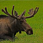 A Moose Relaxing In A Meadow by AllisonDesign